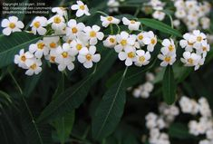 euphorbia fulgens - a delicate white flower that is usually available in January for a winter wedding.