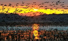 Messengers of winter crisscross dawn sky/ This stunning sight was captured early in the morning at the Izunuma wetlands in Miyagi Prefecture. (Kengo Hiyoshi)/ Tens of thousands of white-fronted geese are flocking to the Izunuma wetlands in northern Japan, a sure sign that winter has arrived.