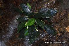 Jalan dan Berburu Tumbuhan Ornamental Kapuas Hulu - BorneoScape