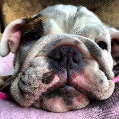 Pumpkin the english bulldog puppy. #dog #dogs #puppy #katanddog #englishbulldog…