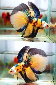 Live betta fish HM MALE yellow green blue white black <> APACHE FIRESTORM <> NEW