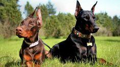 Aprende cómo cuidar bien a un perro doberman