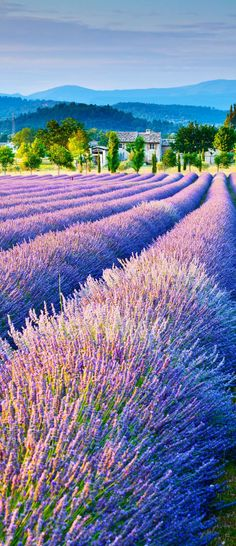 The fragrant lavender fields bloom from June to August in the Luberon, around the Mont-Ventoux, in the region of Sault and that of Valreas,Provence, France.