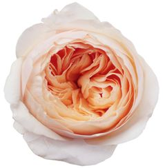 juliet garden rose. peach looks great with grey and lavender