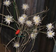 「Peniocereus rosei」の画像検索結果