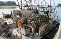 Seattle Times: Willapa Bay Oyster Grower Sounds Alarm, Starts Hatchery in Hawaii