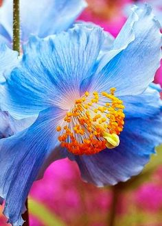 In Bloom Pink and white flowers Beautiful Blue Poppy Flowers Nature, My Flower, Beautiful Flowers, Blue Poppy, Love Garden, Garden Ideas, My Secret Garden, Planting Flowers, Poppies