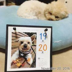 #ココちゃん #ヨーキー #ヨークシャーテリア #犬めくり #カレンダー #福 #愛犬 #犬 #プードル #トイプードル #タイニープードル #dog #poodle #toypoodle #大切な家族 #最愛の息子 #愛おしい #大好き #幸せ #目に入れても痛くない #ワンコなしでは生きて行けません会 #ふわもこ部