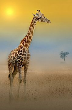 Giraffes...Africa...need I say more?