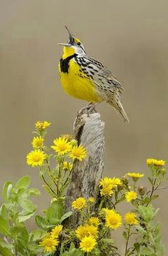 Kansas, Montana, Nebraska, N Dakota, Wyoming, Oregon: Western Meadow Lark www.myrootawakening.com