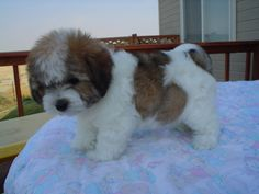 Coton De Tulear Puppy - This little guy looks like a mini St. Bernard!