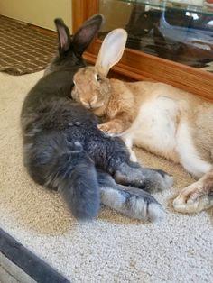 Bonded love Animals And Pets, Baby Animals, Cute Animals, Rabbit Habitat, Pet Bunny Rabbits, Giant Bunny, Beautiful Rabbit, Rabbit Life, Wild Dogs