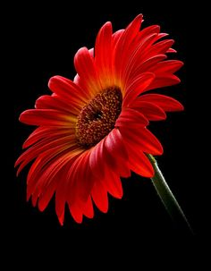 Orange Gerbera | by Antony Scott