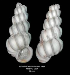 Epitonium bolteni uploaded in Gastropods of the Tamiami Formation: Order [center][background=rgb(227,220,202)][unassigned] Caenogastropoda[/back...