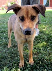 Meet Olivia the lovebug. Olivia is a young shepard mix with lovely black rimmed eyes and a sweet face. She is neither big, or fluffy but we are quite happy she ended up in our rescue. Olivia is estimated to be between 1 and 2 years old and is about 40 lbs. Olivia has gotten along with just about everyone she meets. She adores children and we think she is going to make an awesome family pet. Olivia would be thrilled to have a family that brought her out walking and wants a dog who ...