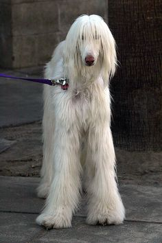 White Afghan Hound...is it just me, or does this dogs face look like Suzanne Summers???? hahahaha