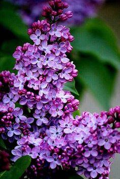 Lilacs by Alice Knitter°° / plante / arbre / lilas / fleurs / violet