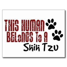 actually we belong to two shih tzus...