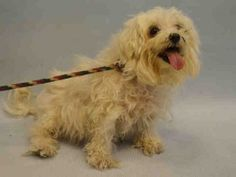 ♡ GONE BUT NEVER FORGOTTEN ♡ RUN FREE SWEET BABY RUN FREE ♡ LADY – A1062503  FEMALE, WHITE, MALTESE / POODLE TOY, 6 yrs OWNER SUR – EVALUATE, NO HOLD Reason OWNER SICK Intake condition UNSPECIFIE Intake Date 01/08/2016, From NY 10463, DueOut Date 01/08/2016,