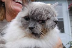 This is Frank and Louie, a cat who was born with two faces, so he has two names.  He made the Guiness World Records for 2012 as the longest living Janus cat.  He is 12 y/o