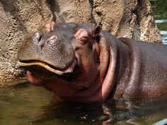 5-hippo smiling