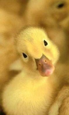 Baby duck by VoyageVisuelle ✿⊱╮
