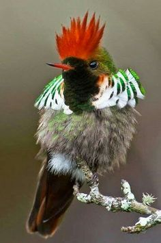 Rufous-crested Coquette (Lophornis delattrei) - The rufous-crested coquette is a species of hummingbird in the Trochilidae family. It is found in Bolivia, Colombia, Ecuador, Panama, and Peru. Kinds Of Birds, All Birds, Little Birds, Love Birds, Pretty Birds, Beautiful Birds, Animals Beautiful, Cute Animals, Wild Animals