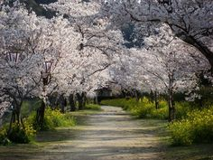 via National Geographic - Cherry Trees and Walkway, Japan Photograph by Thomas Simonson, My Shot
