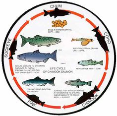 1000 images about fish and bugs on pinterest trout for Fish life cycle