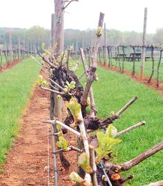 Week two from bud break! Keeping you updated with the #progress! @SixthandVine @VisitWS @ToDoInCharlotte @NCLexington