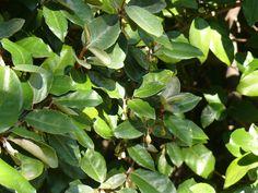 Ezeket is ültesd tuja helyett Plant Leaves, Autumn, Garden, Plants, Garten, Fall Season, Lawn And Garden, Fall, Gardens
