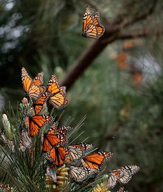 Monarch Butterflies in the Monarch Grove Sanctuary in Pacific Grove on January 26, 2015.  The last count of Monarchs has shown an increase in butterflies this year. (Vern Fisher - Monterey Herald)