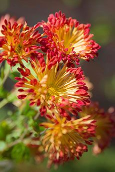 The flowers of Matchsticks quill-flowered mum (Chrysanthemum 'Matchsticks') are golden yellow with fire-engine-red tips. The quill form is created when normally flat petals don't split down a seam as they mature. The red at the tips of this cultivar is the color that would be seen if this was a daisy-flowered mum.
