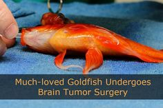 Tristan Rich of Australia's Lort Smith Animal Hospital performed brain surgery on a pet goldfish named George who was suffering from a large tumor on his head. The ten-year-old fish may live another twenty years. Pet Goldfish, Pet Fish, Tumor Cerebral, Brain Tumor, Vet Med, Fish Tank, Betta, Pet Care, Aquariums