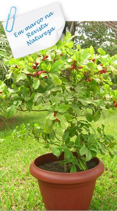 Synsepalum dulcificum fruta do milagre