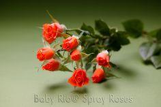 Baby Rio® ALEGRIA Spray Rose