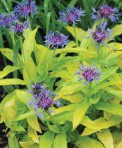 Futur buy: Centaurea montana 'Gold Bullion'