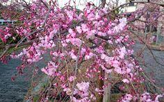 枝垂桜。柔らかな雰囲気が好き。