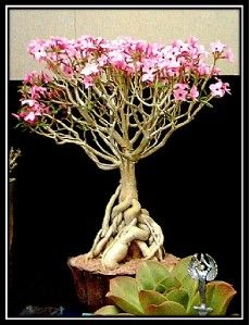 DESERT ROSE BONSAI PLANT. Just planted my new one in a pot. Love love them and never knew it was from rose family.
