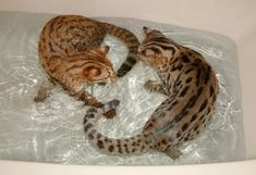 Fantastic Cost-Free Bengal Cats swimming Tips Primary, when it concerns what is truly a Bengal cat. Bengal cats really are a pedigree reproduce in which on . Funny Cats, Funny Animals, Cute Animals, Crazy Cat Lady, Crazy Cats, Beautiful Cats, Animals Beautiful, Kittens Cutest, Cats And Kittens