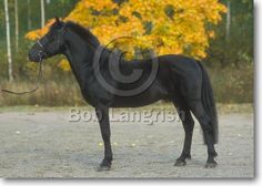 Finnhorse Harness Racing, Show Jumping, Dressage, Country Of Origin, Pony, Horses, Gallery, Animals, Pony Horse