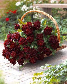 Rosier buisson 'Black Baccara'® Meidebenne