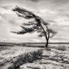 Happy Sunday Morning Folks! One of the most recognizable trees in all of #Ontario Canada. This wind swept pine sits on the eastern shores of #GeorgianBay in #killbearprovincialpark. The years of constant abuse from pounding west / north west winds has driven the tree to grow in this unique fashion. It portrays a sense of #strength #resilience and willingness to survive. I think most of us could learn a lot from this beautiful specimen. The image is Order # 422 and can be found in my Forests / Tr