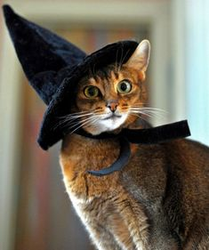 While cats might not always enjoy being dressed up in a full outfit, there's no reason your cat can't get in on the hat wearing fun and games, right? Here are five feline hat styles to inspire you to get into the swing of Fall Hat Month in September. Costume Chat, Cat Costumes, Beautiful Cats, Animals Beautiful, Cute Animals, Animals Images, Crazy Cat Lady, Crazy Cats, Gato Calico