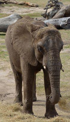 Elefante africano |! Flickr