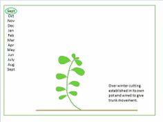 bonsai development and pruning