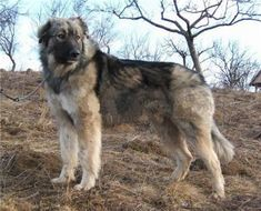Is the Sarplaninac the right breed of dog for me?