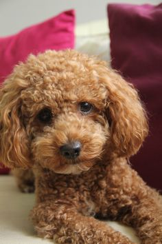 My lovely puppy Babet! Cute Puppies, Cute Dogs, Goldendoodle Haircuts, Poodle Hair, Red Poodles, Cockapoo, Teddy Bears, Coco, Annie