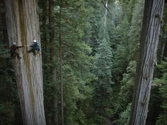 SCALING THE MIGHTY REDWOOD