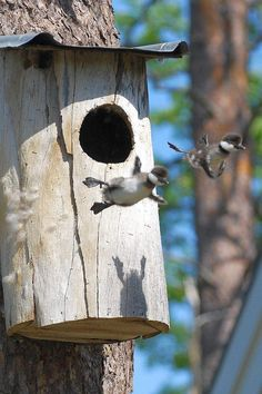 Wood ducklings leave the nest for the first time.